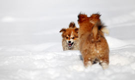 Two puppies playing in snow Stock Images