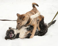 Two puppies playing on snow Royalty Free Stock Photos