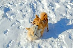 Two puppies playing in winter royalty free stock photography