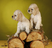 Two puppies playing on wood pile Royalty Free Stock Images