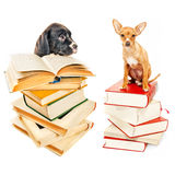 Two puppies posing with books. On white Stock Image