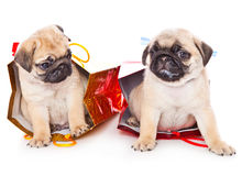 Two puppies of pug in bags Stock Photo
