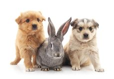 Two puppies and a rabbit. Two puppies and a rabbit on a white background Royalty Free Stock Image