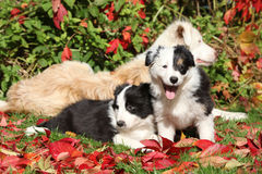 Two puppies in red leaves Stock Image