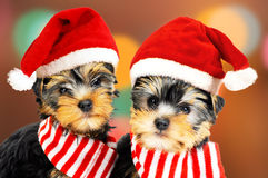 Two puppies in red Santa hats. Two Christmas puppies wearing Santa hats Stock Photo