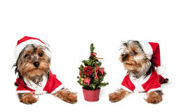 Two puppies in red Santa hats Stock Images