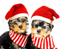 Two puppies in red Santa hats Royalty Free Stock Photo