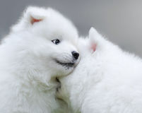Two puppies of Samoyed dog. Close up Royalty Free Stock Images
