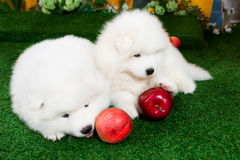 Two puppies of samoyed are laying on green grass Stock Photos
