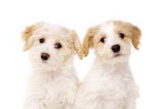 Two puppies sat isolated on a white background Royalty Free Stock Photo