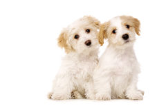 Two puppies sat isolated on a white background Royalty Free Stock Image