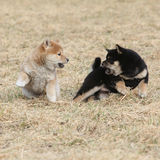 Two puppies of Shiba inu playing Royalty Free Stock Images