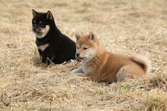 Two puppies of Shiba inu together Stock Images