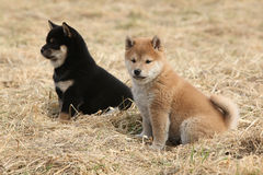 Two puppies of Shiba inu together Royalty Free Stock Photos