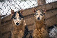 Two puppies of Siberian husky for lattice cage kennel of sled do Stock Photo