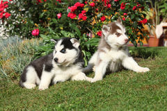 Two puppies of siberian husky lying in front of flowers Stock Photography