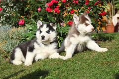 Two puppies of siberian husky lying in front of flowers Royalty Free Stock Photo