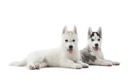Two puppies of siberian husky resting on floor after activity. royalty free stock image