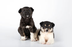 Two puppies. Sitting on white background Stock Photo