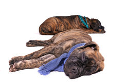 Two Puppies sleeping. Two wonderful puppies sleeping with a scarf and necklace Royalty Free Stock Photos