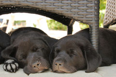 Two puppies sleeping in garden stock photography