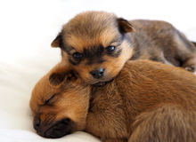 Two puppies sleeping on soft white background. Two little puppies, one asleep Royalty Free Stock Photography