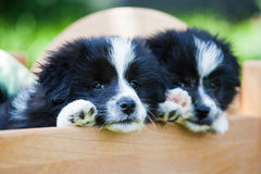 Two puppies in a small bed Stock Photos