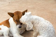 Two puppies small dog kiss his friend.  Stock Image
