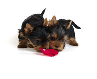 Two puppies smelling rose petal Stock Image