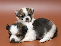 Two puppies of the spitz-dog Royalty Free Stock Photography