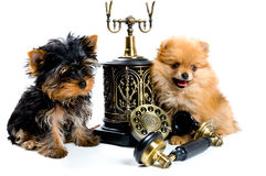 Two puppies of the spitz-dog Royalty Free Stock Image