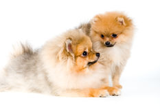 Two puppies of the spitz-dog Stock Photos