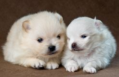 Two puppies of the spitz-dog in studio Royalty Free Stock Images