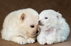 Two puppies of the spitz-dog in studio Stock Images