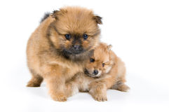 Two puppies of the spitz-dog in studio. On a neutral background Royalty Free Stock Photo