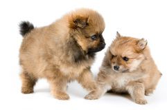 Two puppies of the spitz-dog in studio. On a neutral background Stock Images