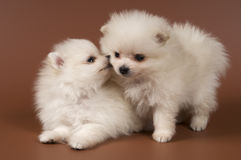 Two puppies of the spitz-dog in studio Royalty Free Stock Photos