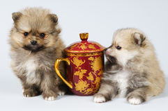 Two puppies of the spitz-dog in studio Stock Image