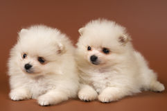 Two puppies of the spitz-dog in studio Royalty Free Stock Photo