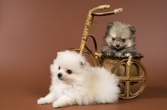 Two puppies of the spitz-dog in studio Stock Photography