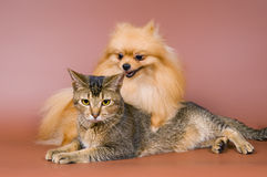 Two puppies of the spitz-dog in studio Royalty Free Stock Photography