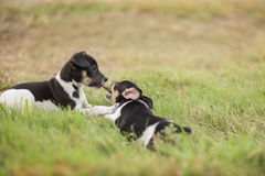 Two puppies and a stick. Two Rat Terrier puppies play with a stick in the yard Royalty Free Stock Photo