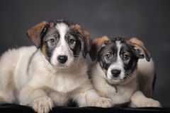 Two puppies in studio royalty free stock image