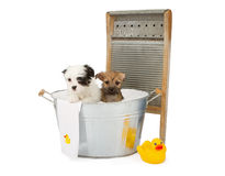 Two puppies taking a bath Royalty Free Stock Photos
