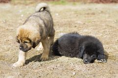 Two Puppies Tibetan Mastiff Royalty Free Stock Photography