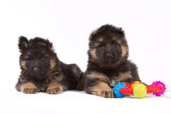 Two puppies with toy. Two cute German shepherd puppies with a colorful toy Stock Photo