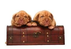 Two puppies is in a trunk. Royalty Free Stock Photo