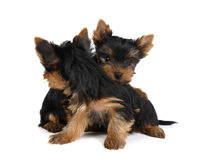 Two puppies turning to each other's backs Royalty Free Stock Photography