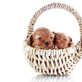 Two puppies in a wattled basket. Stock Images