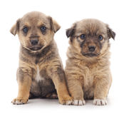 Two puppies. Two puppies on a white background royalty free stock photo